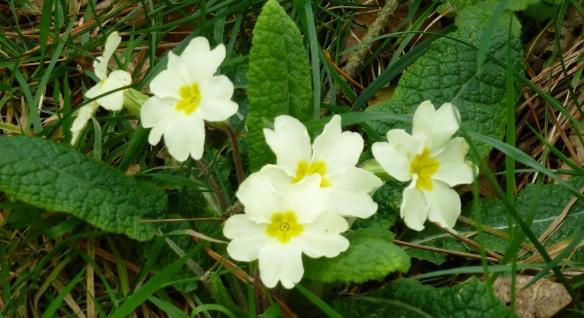 Primula vulgaris.