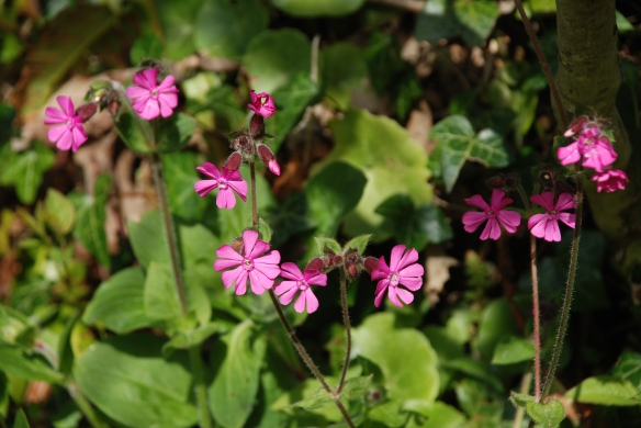 Red Campion, Silene Dioica.