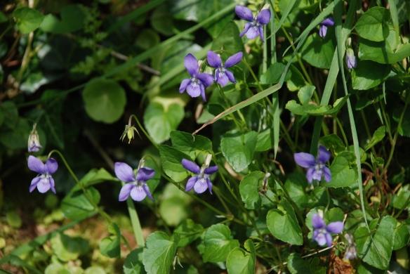 Common Violet, Viola odorata.