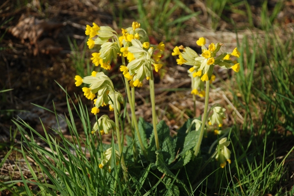 Cowslip; Primula veris.