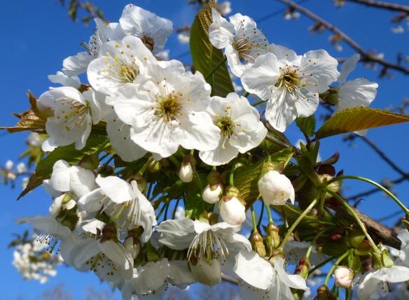 Wild cherry; Prunus avium.