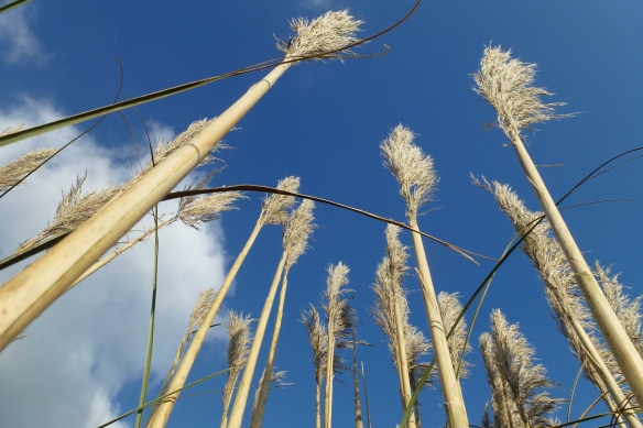 Looking up in the reeds.