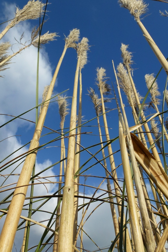 Reeds pointing to the sky.
