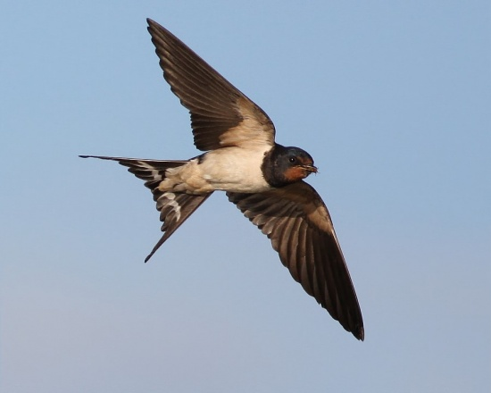 Hirundo rustica. Photo, Ian F.