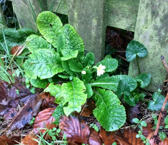 Primrose, Primula vulgaris. Excuse the poor quality, blame the rain and the light!